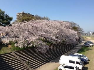 岡崎さくら20130330_2.JPG